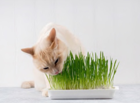 What are the benefits of wheatgrass