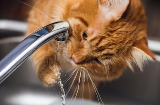 cat is drinking tap water